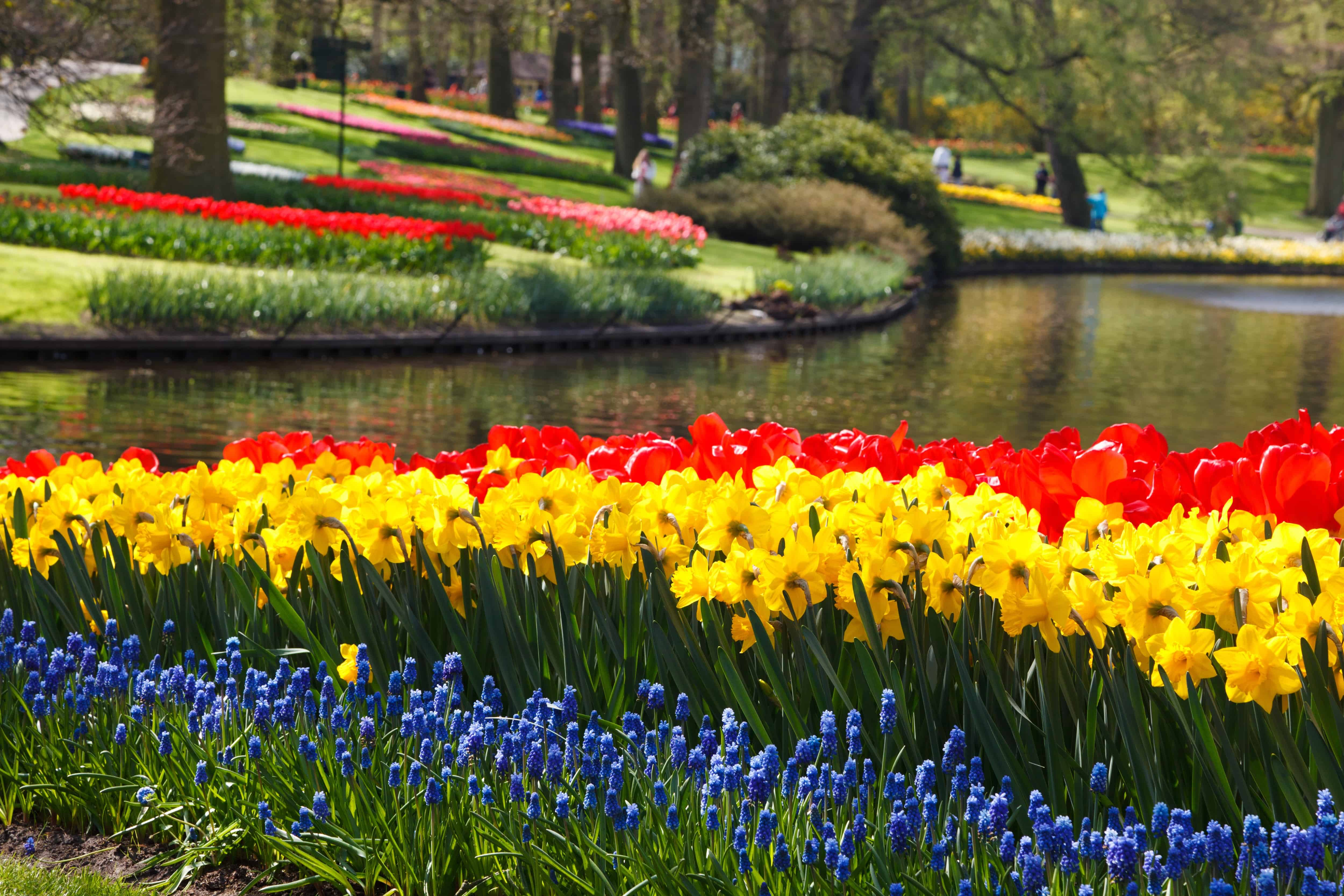 tulips-21959